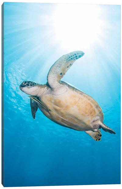 Green Sea Turtle In North Sulawesi, Indonesia Canvas Art Print