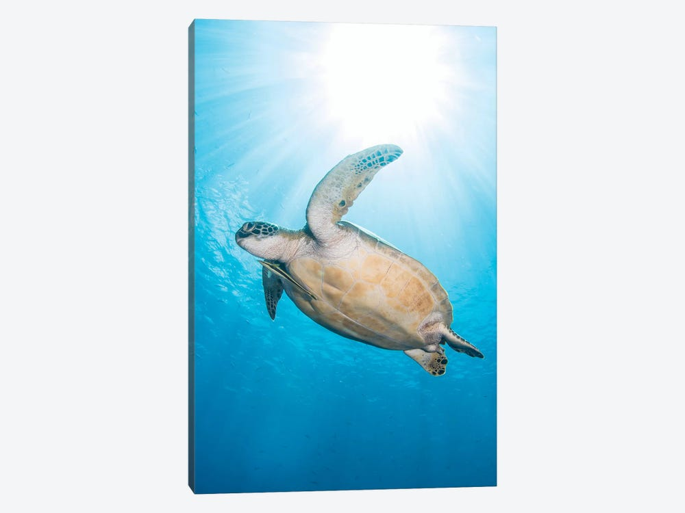 Green Sea Turtle In North Sulawesi, Indonesia 1-piece Canvas Art