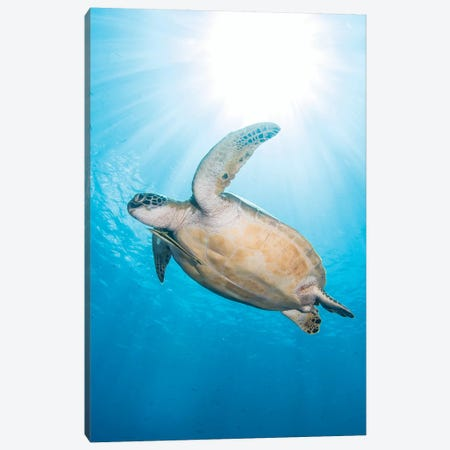Green Sea Turtle In North Sulawesi, Indonesia Canvas Print #TRK1969} by Brandi Mueller Canvas Print