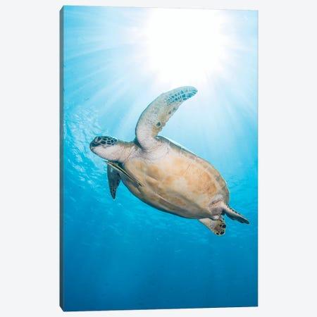 Green Sea Turtle In North Sulawesi, Indonesia Canvas Print #TRK1969} by Brandi Mueller Canvas Print