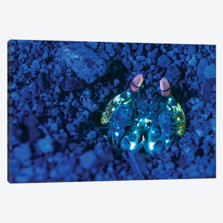 Mantis Shrimp With Fluorescence Light And Filters In The Philippines Canvas Print #TRK1970} by Brandi Mueller Canvas Art
