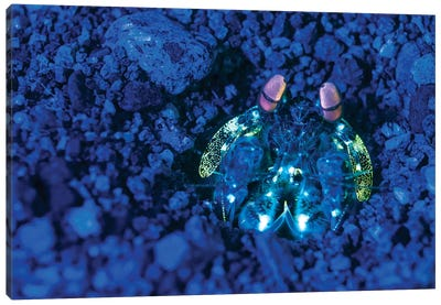 Mantis Shrimp With Fluorescence Light And Filters In The Philippines Canvas Art Print