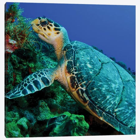 A Feeding Hawksbill Sea Turtle In Cozumel, Mexico Canvas Print #TRK1972} by Brent Barnes Canvas Artwork