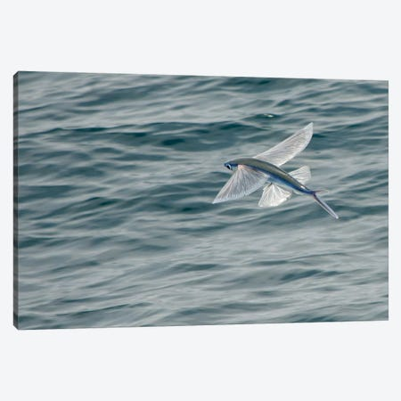 A Flying Fish Skims Over The Surface At Guadalupe Island, Mexico Canvas Print #TRK1973} by Brent Barnes Canvas Wall Art