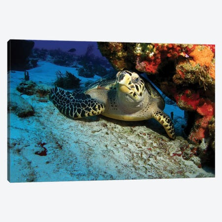 A Hawksbill Sea Turtle Resting Under A Reef In Cozumel, Mexico Canvas Print #TRK1974} by Brent Barnes Canvas Art Print