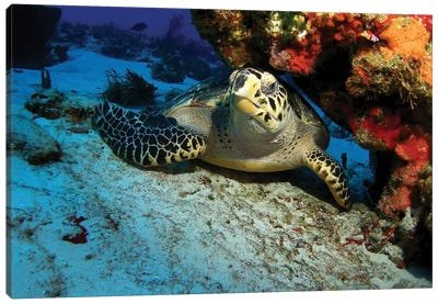 A Hawksbill Sea Turtle Resting Under A Reef In Cozumel, Mexico Canvas Art Print
