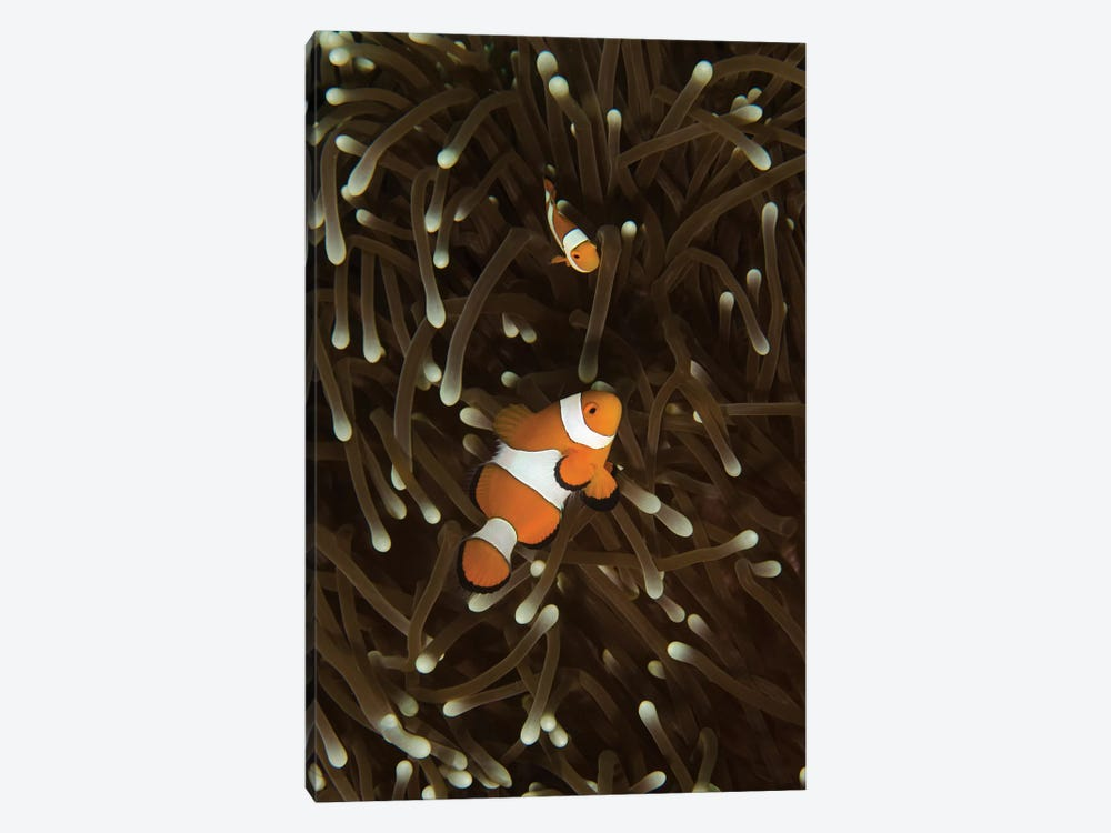 A Pair Of Anemonefish In Its Host Anemone, Manado, Indonesia by Brent Barnes 1-piece Canvas Print