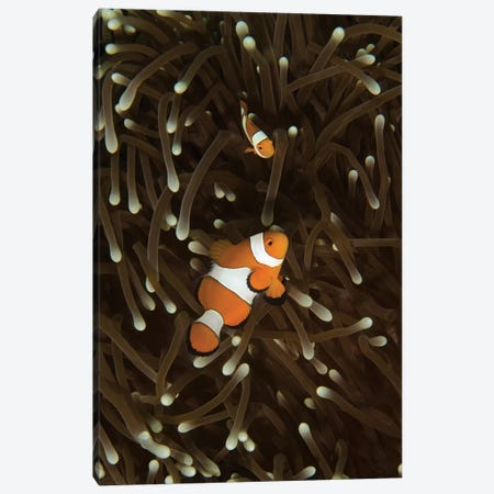 A Pair Of Anemonefish In Its Host Anemone, Manado, Indonesia Canvas Print #TRK1975} by Brent Barnes Canvas Print