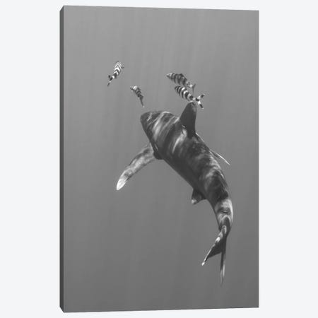 Oceanic Whitetip Shark, Cat Island, Bahamas I Canvas Print #TRK1980} by Brent Barnes Canvas Print