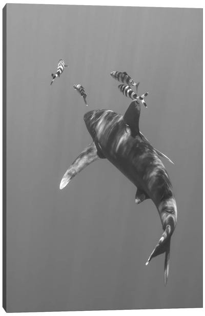 Oceanic Whitetip Shark, Cat Island, Bahamas I Canvas Art Print