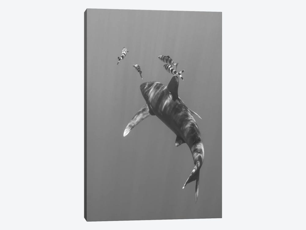 Oceanic Whitetip Shark, Cat Island, Bahamas I by Brent Barnes 1-piece Art Print