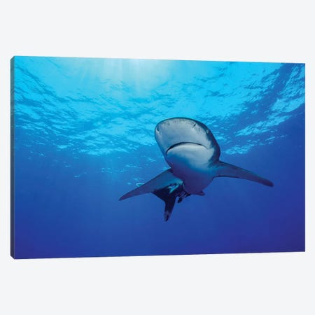 Rays Of Light Shining Above An Oceanic Whitetip Shark Canvas Print #TRK1982} by Brent Barnes Canvas Art Print