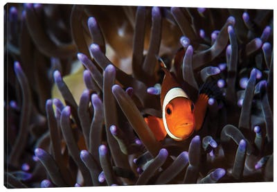 A Clownfish In An Anemone, North Sulawesi, Indonesia Canvas Art Print