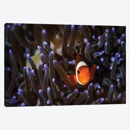 A Clownfish In An Anemone, North Sulawesi, Indonesia Canvas Print #TRK1983} by Brook Peterson Canvas Print