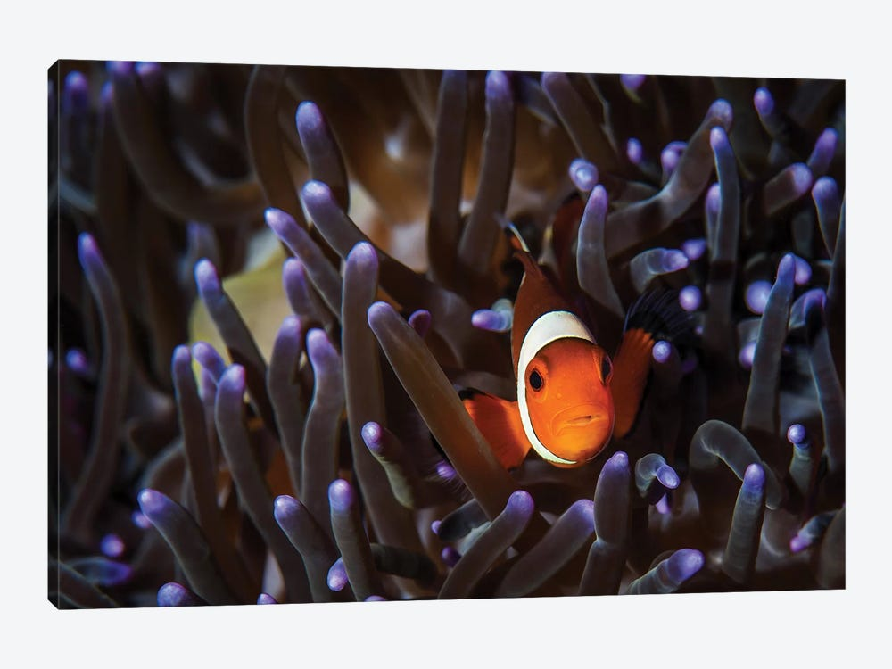 A Clownfish In An Anemone, North Sulawesi, Indonesia by Brook Peterson 1-piece Canvas Wall Art
