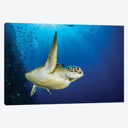 A Green Sea Turtle Swims By A Reef Under The Sun, North Sulawesi, Indonesia Canvas Print #TRK1984} by Brook Peterson Canvas Art