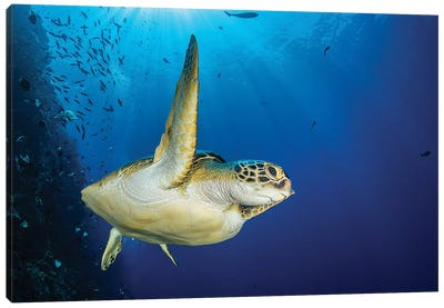A Green Sea Turtle Swims By A Reef Under The Sun, North Sulawesi, Indonesia Canvas Art Print