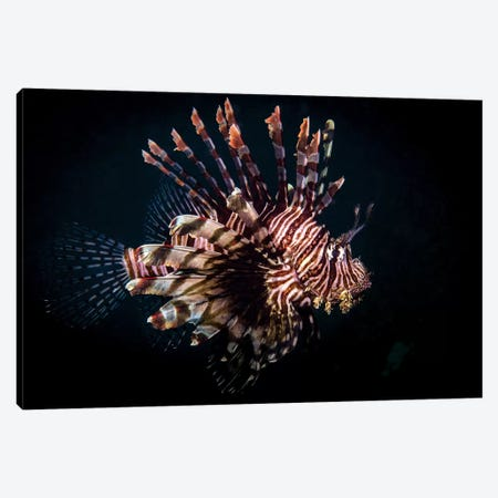 A Lionfish Portrait, Anilao, Philippines Canvas Print #TRK1985} by Brook Peterson Canvas Art