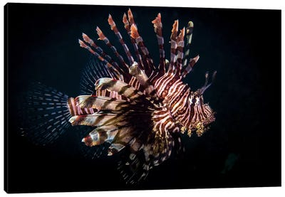 A Lionfish Portrait, Anilao, Philippines Canvas Art Print