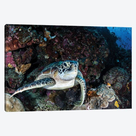 A Turtle Rests On A Ledge On A Coral Reef, North Sulawesi, Indonesia Canvas Print #TRK1988} by Brook Peterson Canvas Print