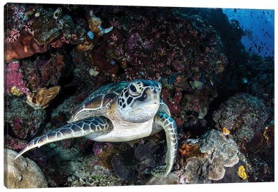 A Turtle Rests On A Ledge On A Coral Reef, North Sulawesi, Indonesia Canvas Art Print