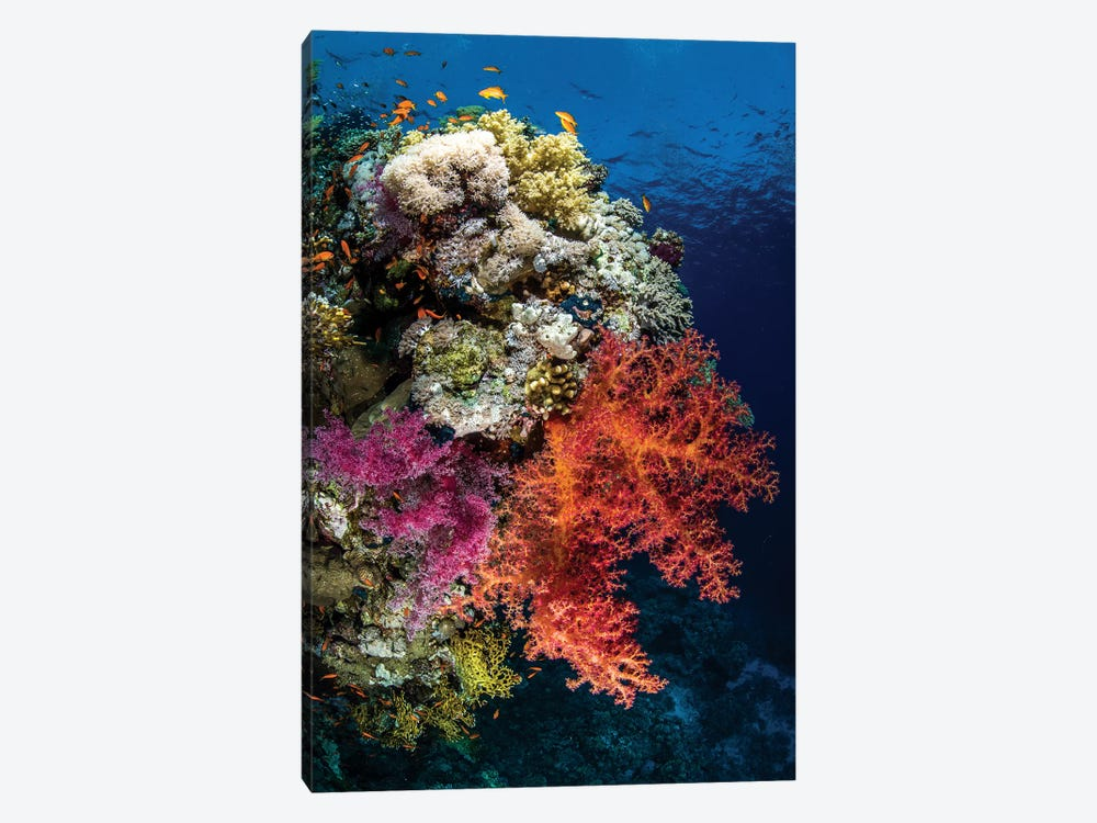 Reef Scene In The Red Sea by Brook Peterson 1-piece Canvas Artwork