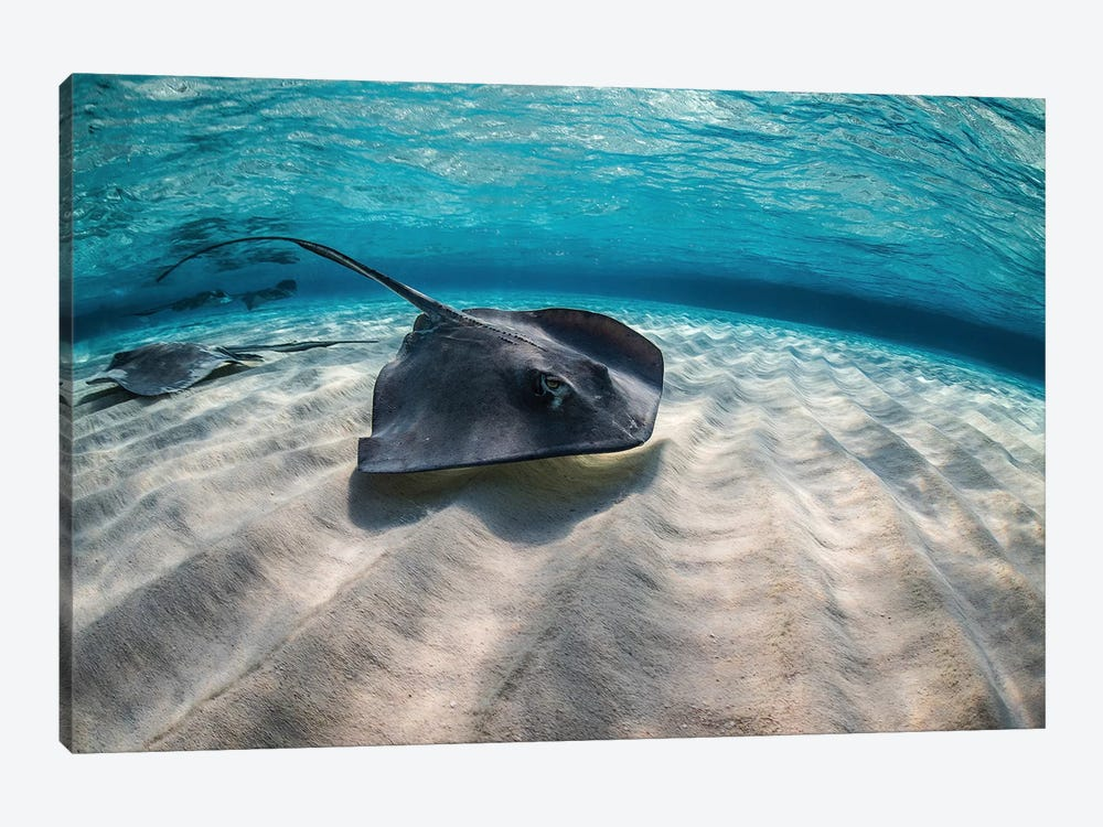 Stingrays Swimming The Ocean Floor, Grand Cayman, Cayman Islands by Brook Peterson 1-piece Art Print