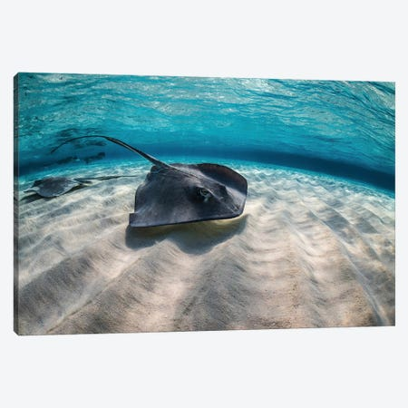 Stingrays Swimming The Ocean Floor, Grand Cayman, Cayman Islands Canvas Print #TRK1991} by Brook Peterson Canvas Artwork