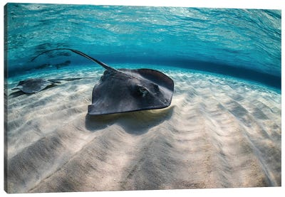 Stingrays Swimming The Ocean Floor, Grand Cayman, Cayman Islands Canvas Art Print