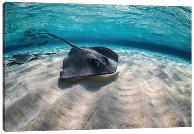 Stingrays Swimming The Ocean Floor, Grand Cayman, Cayman Islands Canvas Art Print