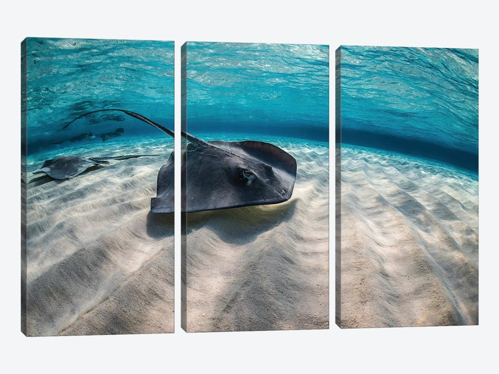 Stingrays Swimming The Ocean Floor, Grand Cayman, Cayman Islands by Brook Peterson 3-piece Art Print