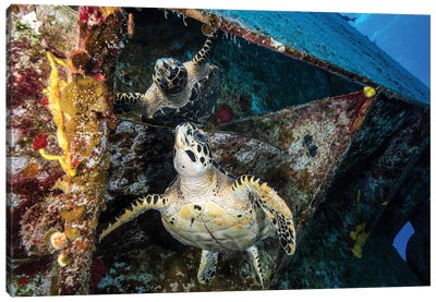 Turtle Gazes At Its Reflection Under The USS Kittiwake Shipwreck In Cayman Islands Canvas Art Print