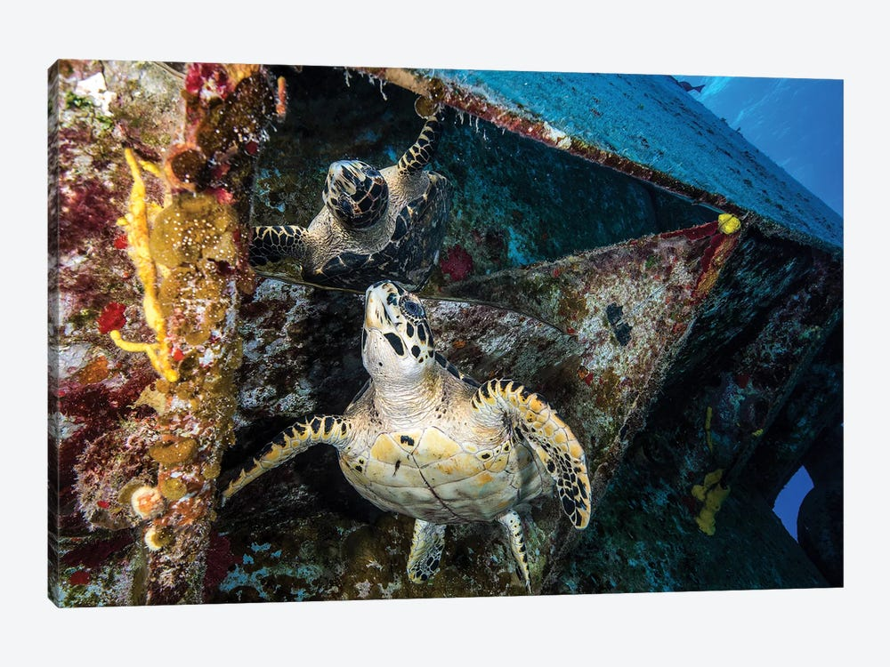 Turtle Gazes At Its Reflection Under The USS Kittiwake Shipwreck In Cayman Islands by Brook Peterson 1-piece Canvas Artwork
