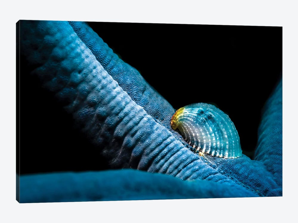 A Parasitic Crystalline Sea Star Snail Hosted By A Blue Sea Star by Bruce Shafer 1-piece Art Print