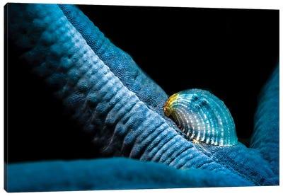A Parasitic Crystalline Sea Star Snail Hosted By A Blue Sea Star Canvas Art Print