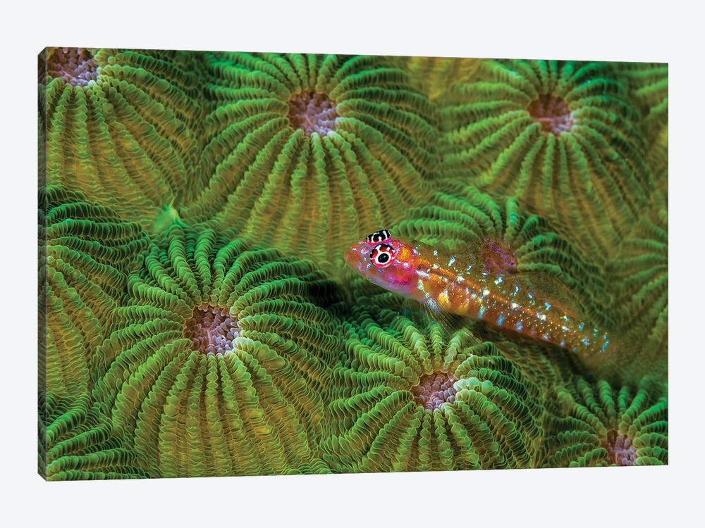 A Pygmy Goby, New Ireland, Papua New Guinea by Bruce Shafer 1-piece Canvas Art