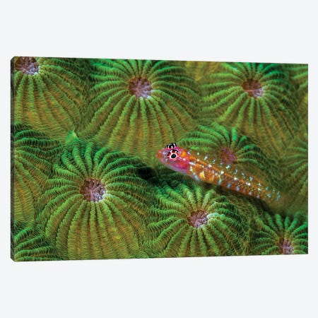 A Pygmy Goby, New Ireland, Papua New Guinea Canvas Print #TRK1994} by Bruce Shafer Canvas Art Print