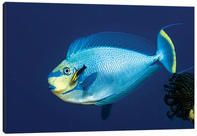 Bignose Unicornfish Being Cleaned, New Ireland, Papua New Guinea Canvas Art Print