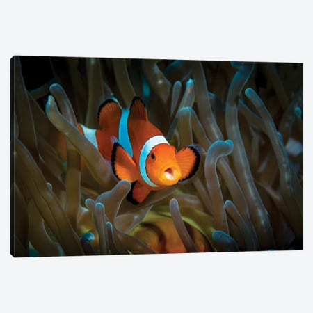 False Clown Anemonefish In Host Anemone, Anilao, Philippines Canvas Print #TRK1998} by Bruce Shafer Canvas Artwork