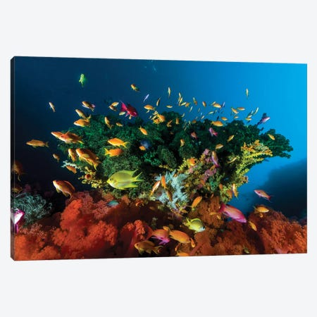 Reef Scene With Anthias Fish, Cebu, Philippines Canvas Print #TRK2001} by Bruce Shafer Canvas Artwork