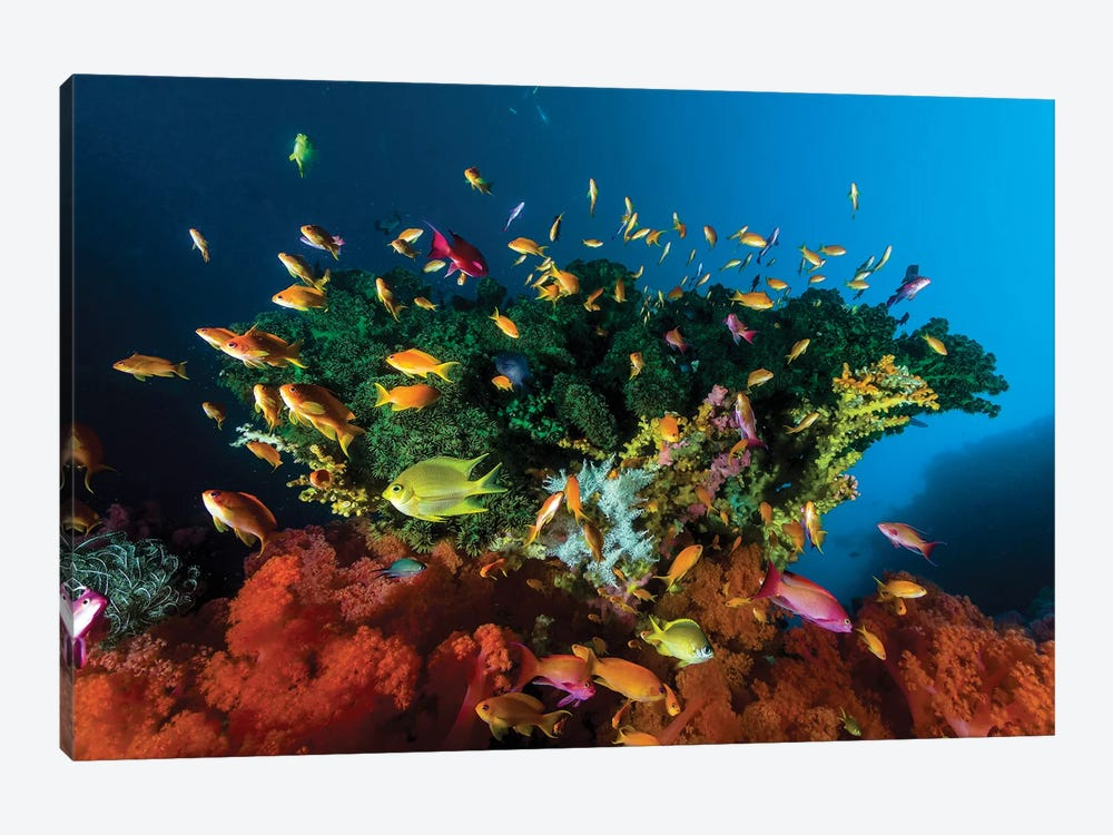 Reef Scene With Anthias Fish, Cebu, Philippines by Bruce Shafer 1-piece Canvas Artwork