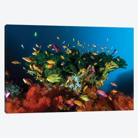 Reef Scene With Anthias Fish, Cebu, Philippines Canvas Print #TRK2001} by Bruce Shafer Canvas Artwork
