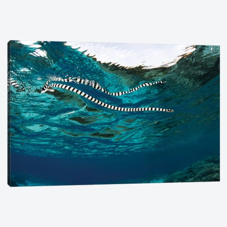 A Banded Sea Snake (Laticauda Colubrina) Swims At The Surface, Indonesia Canvas Print #TRK2002} by Ethan Daniels Canvas Art