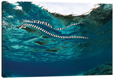 A Banded Sea Snake (Laticauda Colubrina) Swims At The Surface, Indonesia Canvas Art Print