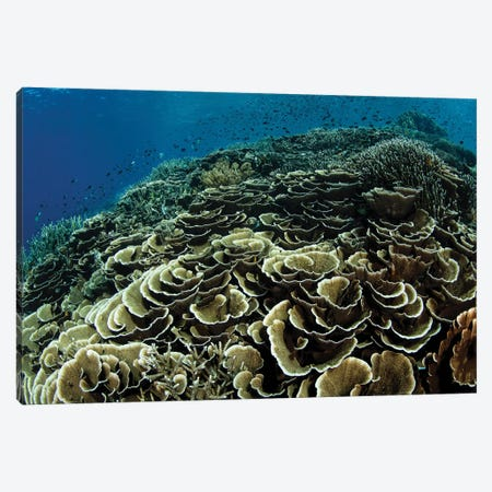 A Beautiful And Fragile Coral Reef Grows In Komodo National Park, Indonesia I Canvas Print #TRK2003} by Ethan Daniels Canvas Artwork