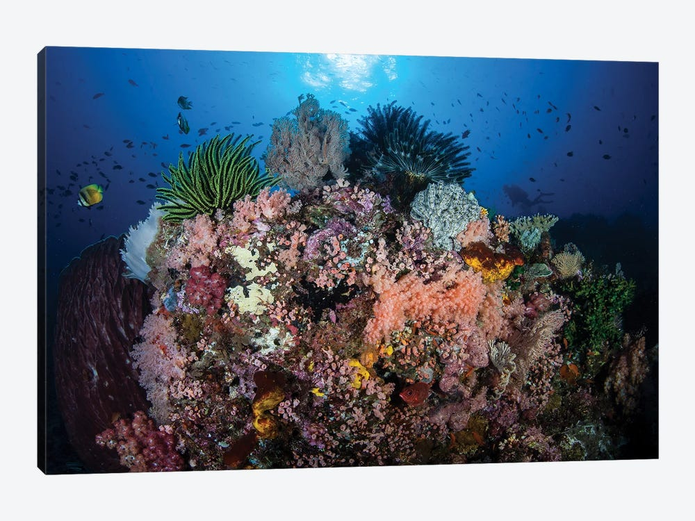 A Beautiful And Fragile Coral Reef Grows In Komodo National Park, Indonesia II by Ethan Daniels 1-piece Canvas Art Print