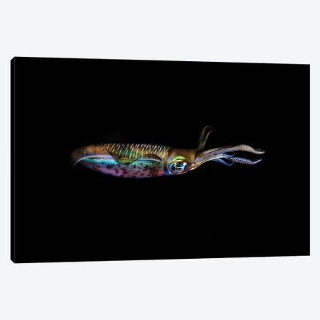 A Bigfin Reef Squid Off The Coast Of Komodo Island In Komodo National Park I Canvas Print #TRK2008} by Ethan Daniels Canvas Artwork