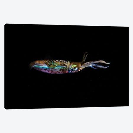 A Bigfin Reef Squid Off The Coast Of Komodo Island In Komodo National Park I Canvas Print #TRK2008} by Ethan Daniels Canvas Artwork