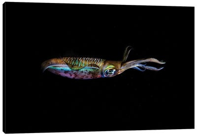A Bigfin Reef Squid Off The Coast Of Komodo Island In Komodo National Park I Canvas Art Print