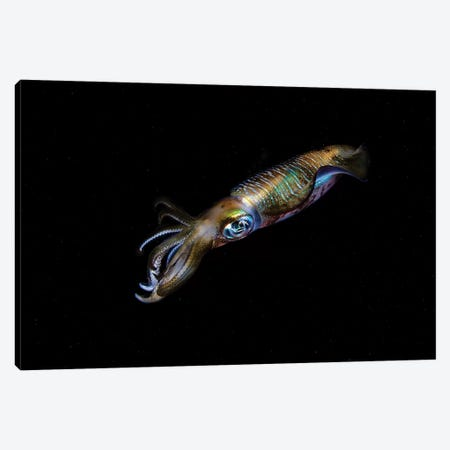A Bigfin Reef Squid Off The Coast Of Komodo Island In Komodo National Park II Canvas Print #TRK2009} by Ethan Daniels Canvas Artwork
